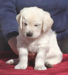 Puppies  Free on General Community   Golden Labrador Puppies For Free Adoption